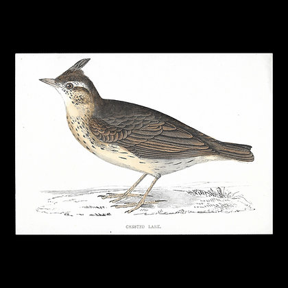 Crested Lark - Handcoloured Print Circa 1880