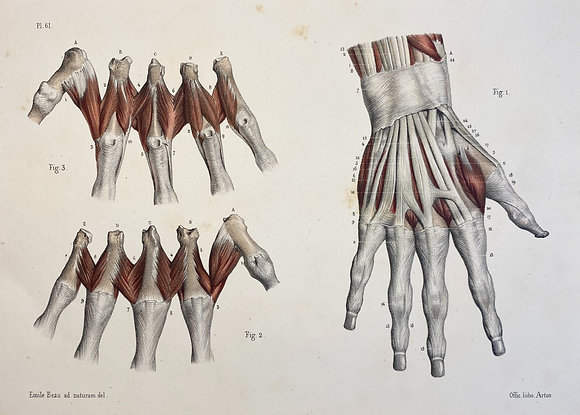 Tendons and Muscles of the Hand - Original Mounted 1847 Print