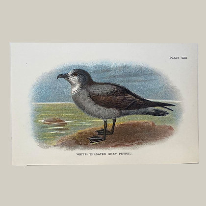 White Throated Grey Petrel, Small Plate Print -1893