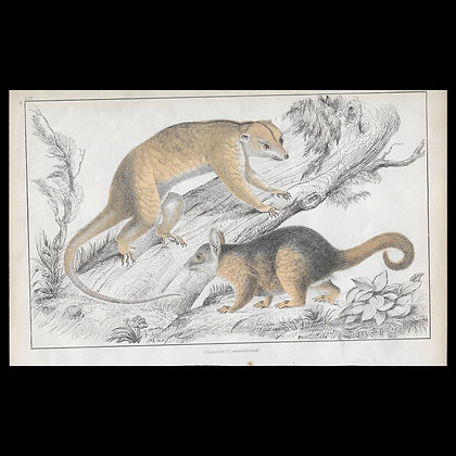 kinkajou - 1858 Hand Watercoloured Print