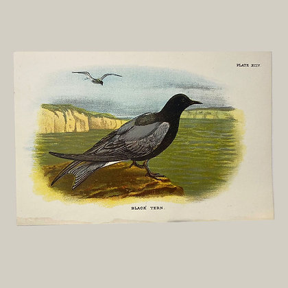 Black Tern, Small Plate Print -1893
