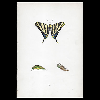 Scarce Swallowtail Butterfly - Circa 1860 Print