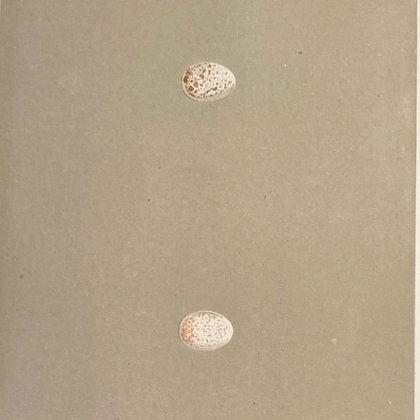 Crested Titmouse, Egg Print Circa 1890