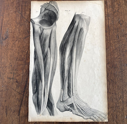 Large Lithograph Print Showing Muscles  of the Leg -  Plate 36