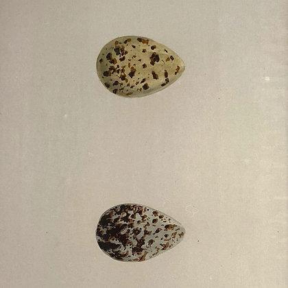 Snipe & Jack Snipe Egg Print Circa 1890