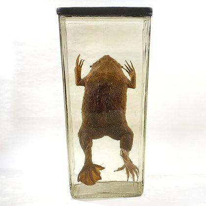 Suriname Pipa Toad (Pipa pipa) Wet Specimen