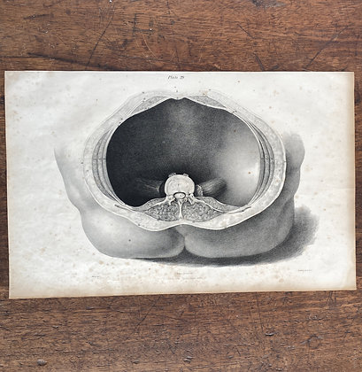 Large Lithograph Print Showing Muscles of Abdomen -  Plate 24