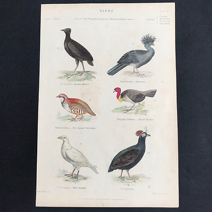 Curassow etc Handcoloured Print circa 1840