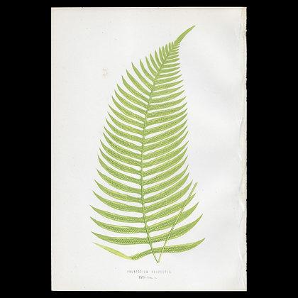 Polypodium harpeodes - Circa 1860 Print