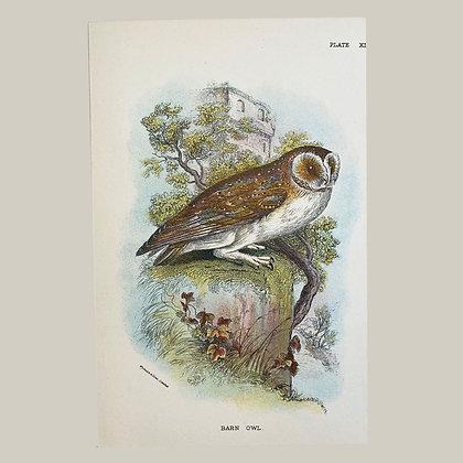 Barn Owl, Small Plate Print -1893