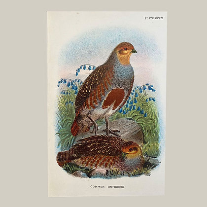 Common Partridge, Small Plate Print -1893
