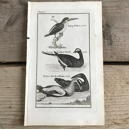 King Fisher - 1792 Copper Plate Engraving P70