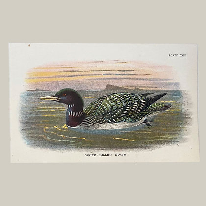 White Billed Diver, Small Plate Print -1893