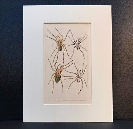 Arachnid Plate 16 - Hand Coloured Circa 1860