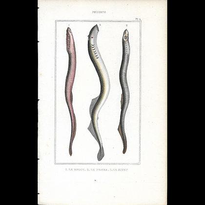 Lamprey  - Hand Coloured Plate Circa 1860