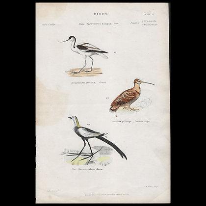 Various Birds including Chinese Jacana  - Circa 1840 Hand coloured Print