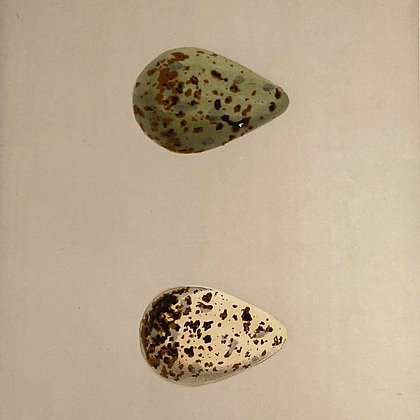 Spotted Redshank and Redshank, Egg Print Circa 1890