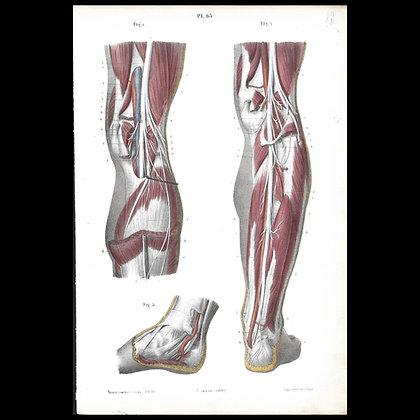 Plate 63 - Sciatic Nerve . Original 1847 Print.