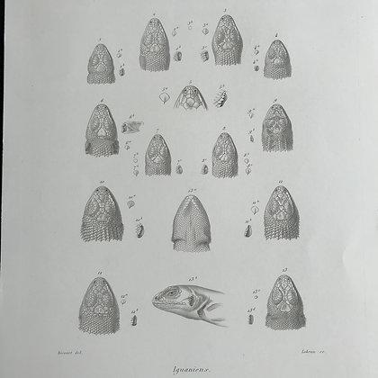Iguaniens - 1861 Plate 18 Bis