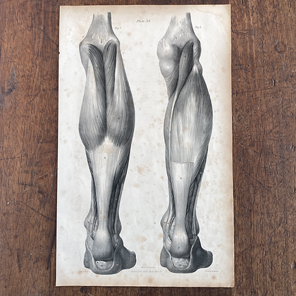 Large Lithograph Print Showing Muscles in the Back of the Leg -  Plate 38