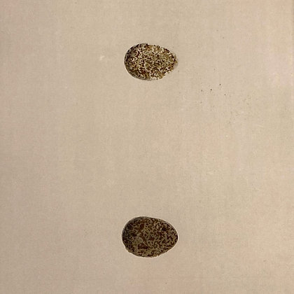 Sky Lark and Crested Lark, Egg Print Circa 1890