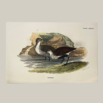 Dunlin, Small Plate Print -1893