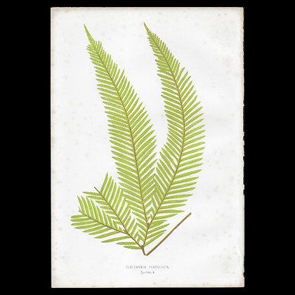 Gleichenia flabellata - Circa 1860 Print
