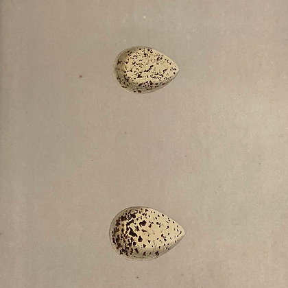 Little Ring Dotterel and Kentish Dotterel, Egg Print Circa 1890