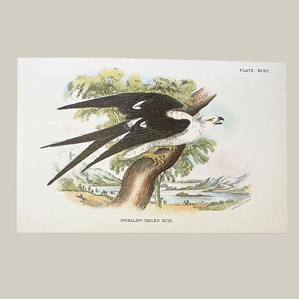 Swallow Tailed Kite, Small Plate Print -1893