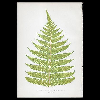 Polypodium decussatum - Circa 1860 Print