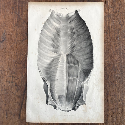 Large Lithograph Print Showing Muscles of Sternum -  Plate 26