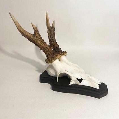 Large Roe Deer Skull