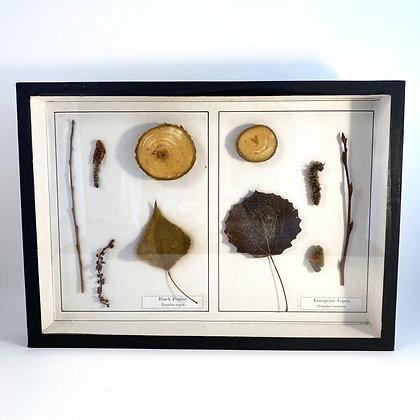 Black Poplar and European Aspen - Botanical Specimens