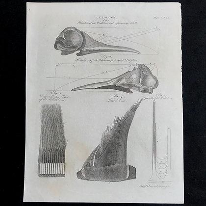 Unicorn Fish Blow Hole, Baleen etc Print circa 1800