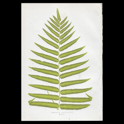 Polypodium subpetiolatum - Circa 1860 Print