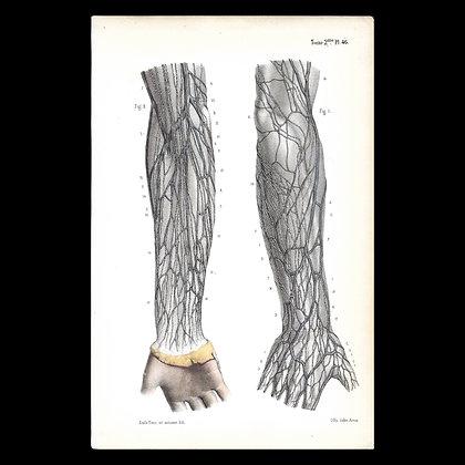 Plate 46 - Lymph Nodes of the arm. Original 1866 Print.
