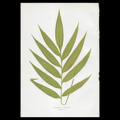 Polypodium decurrens - Circa 1860 Print