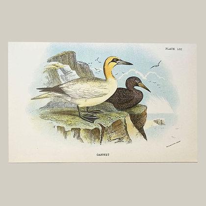 Gannet, Small Plate Print -1893