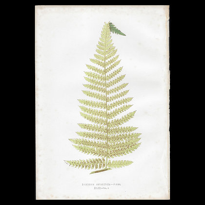 Dicksonia antarctica - Circa 1860 Print