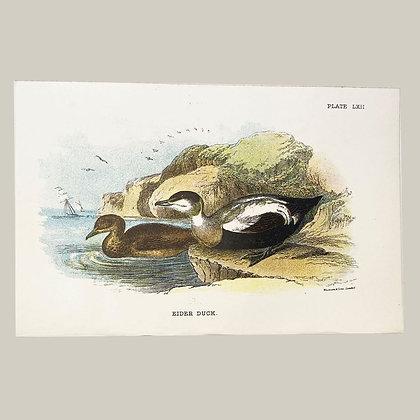 Eider Duck, Small Plate Print -1893