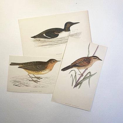 CLEARANCE - 3 Bird Prints Circa 1900