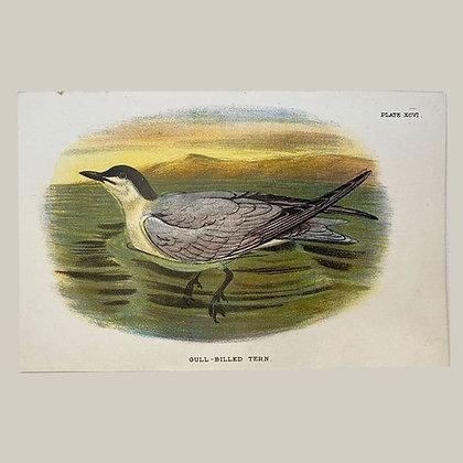 Gull-Billed Tern, Small Plate Print -1893