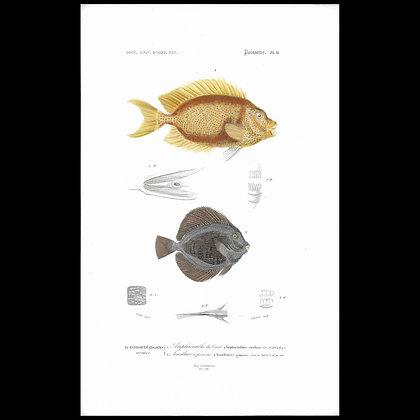 Amphacanthus corallinus and gemmalus-  1863 Print