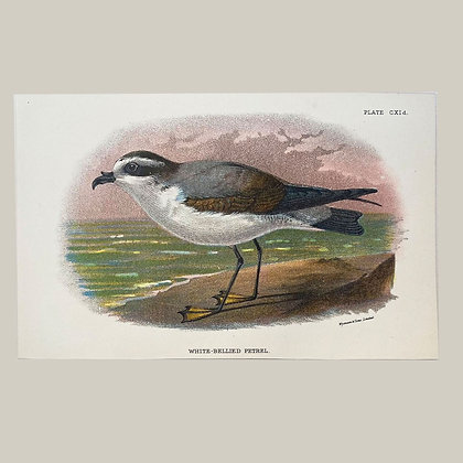 White Bellied Petrel, Small Plate Print -1893