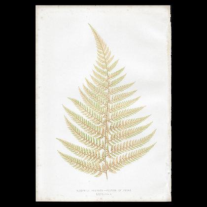 Alsophila pruinata - Circa 1860 Print