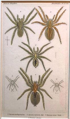 Arachnid Plate 17B - Hand Coloured Circa 1860