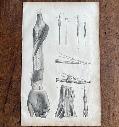Large Lithograph Print Showing Tendons of Fingers -  Plate19