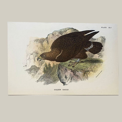Golden Eagle, Small Plate Print -1893