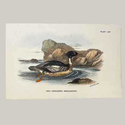 Red Breasted Merganser, Small Plate Print -1893