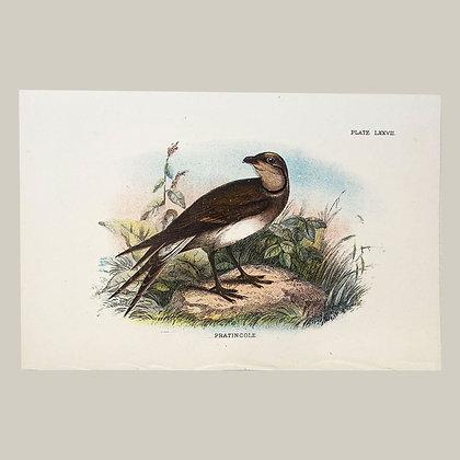 Pratincole, Small Plate Print -1893